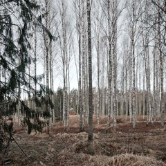 Firs and Birches - 15/1/2020 - Makholma-Majantie, Finland