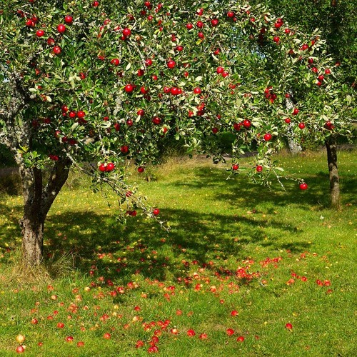 Cooperation Humboldt Offers Free Community Fruit Trees