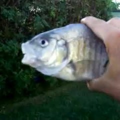 Killer Fish!