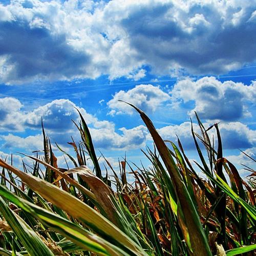 Heat wave damages crops across prairies
