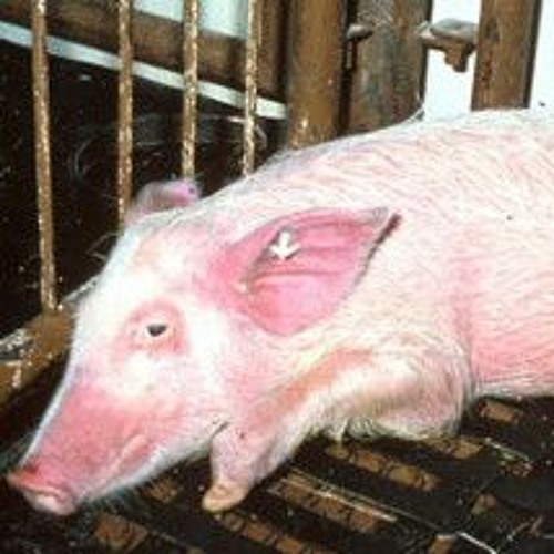 African Swine Fever makes it to Germany