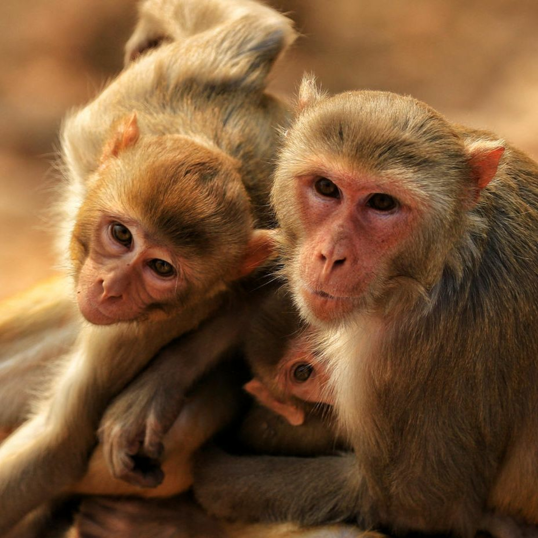 Ep. 52: In India, Mismanaging the Monkey Menace