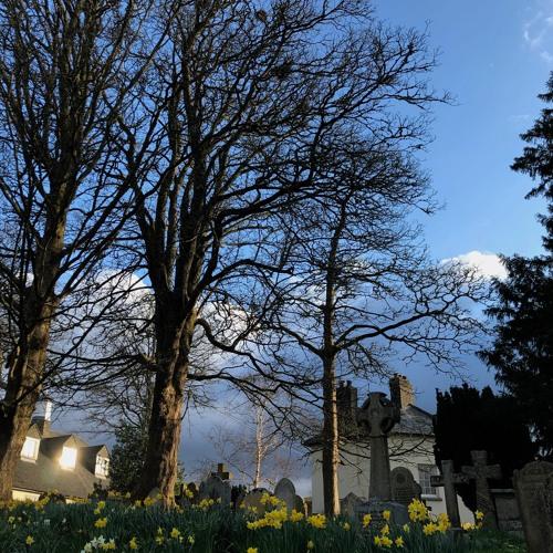 Churchyard Rooks 30 March 2020