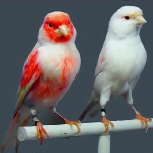 Canary Bird اقوى تغريد كناري للتسميع و تهييج الانات للتزاوج صوت رقم 7 By Canary Sound صوت الكناري