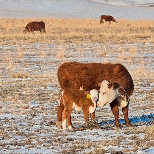 Beef Buzz- Dr. Harold Newcomb Says Strategic Deworming Helps Your Bottom Line
