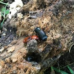 Matthew Traxler describes the 'friendly' bessbug beetle