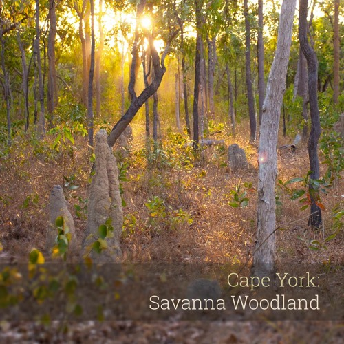 Album Sample - 'Cape York: Savanna Woodland'