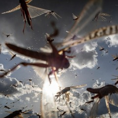FAO Podcast - Desert locusts: Are we winning the fight?