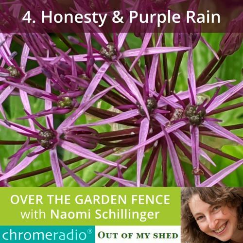 OVER THE GARDEN FENCE 4   Honesty & Purple Rain