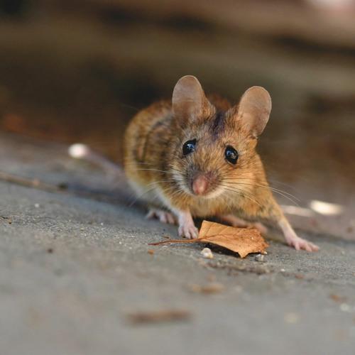Mit Speck fängt man Mäuse?