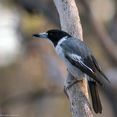 2021.08.08 Grey Butcherbirds. Mallee Country. Dawn. Late Winter.