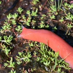 Giant pink slugs- Is pink really camouflage?