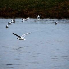 200319 10:58 Black-Headed Gull