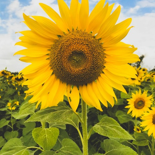 Gọi Em Là Sun Flower (Demo)