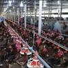 Download Trà Vinh – Hàng ngàn hộ chăn nuôi lỗ nặng vì giá gà thịt giảm mạnh Mp3
