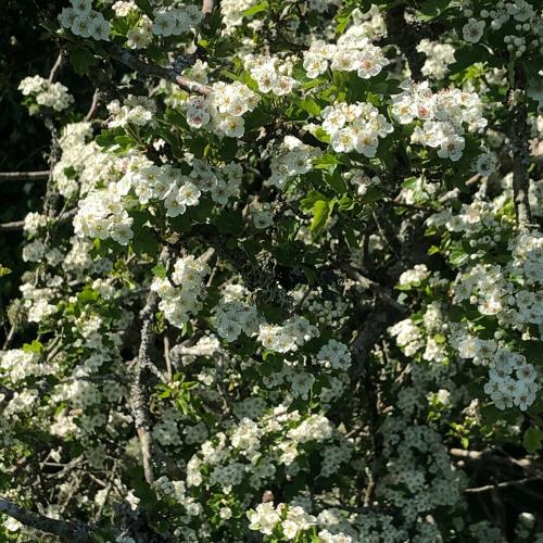 May Blossom, Bees And Pig 17 May 2020
