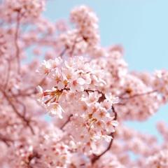 桜花爛漫 ~ Sakura In Full Bloom