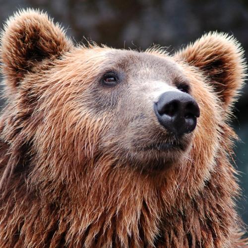 Torpor (Eyes Through A Bear)