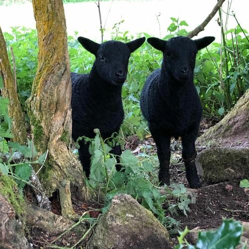 Sheep And Rain 30 April 2020