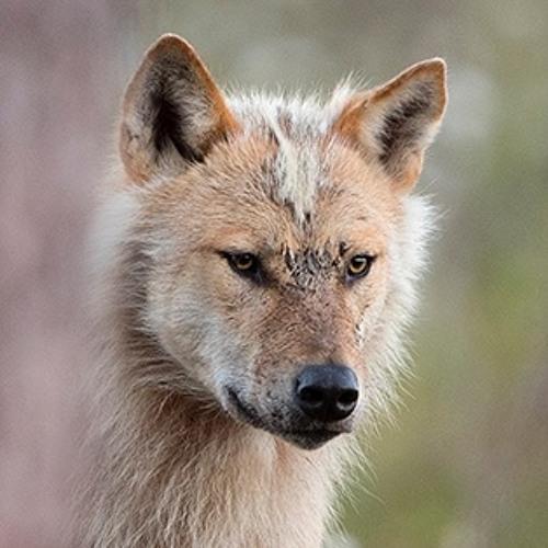 Howling and barking wolf, Canis lupus. Skällande och ylande varg.Raw File