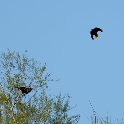 Montezuma oropendola bird call