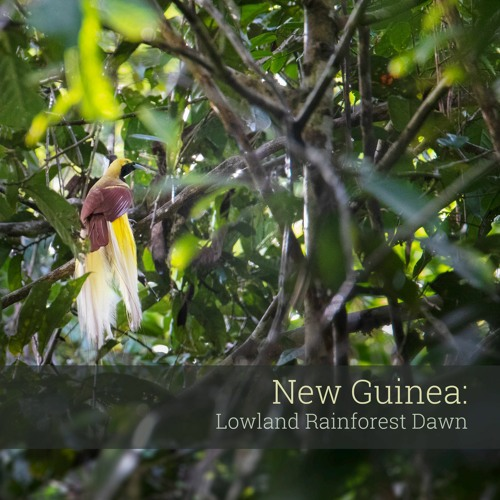 Album Sample - New Guinea: Lowland Rainforest Dawn