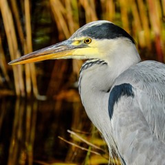 Grey Heron calls, Wiltshire, England, June 1992