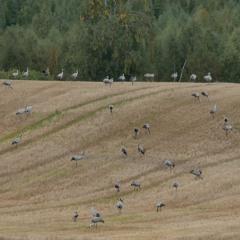 Gathering of common cranes