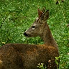 200330 05:14 Roe Deer