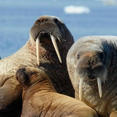 Help the WWF By Counting Walruses from Space!