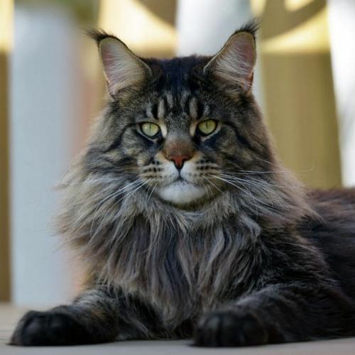 Épisode 2 - Le chat Main Coon, un doux géant
