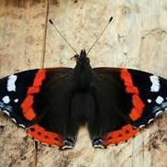 Thursday Celebrity Spotlight - Chris Packham on the Life Cycle of the Red Admiral Butterfly