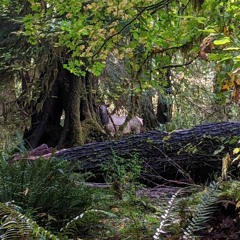 Roosevelt Elk Bugling in the Rainforest - Hoh River Trail, Olympic NP, WA