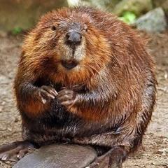 Episode 154 - Beaver Butt Flavoring