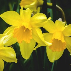 Manx superstitions around daffodils, snowdrops and parsley