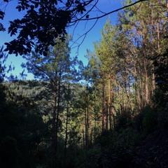 Viento en roble y pinos / San José del Pacífico