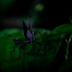 The weird sound of the Empress cicada