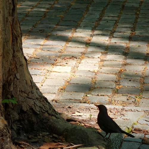 BIRDSong - Common Chaffinch  - Eurasian Birds (SOE010)