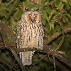Juvenile Long-Eared Owls - Plateau De Montselgues, Ardeche, France