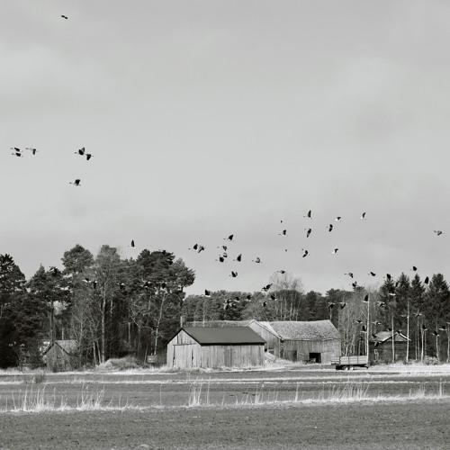 A few Geese - 26/3/2021 - Preiviiki Fields
