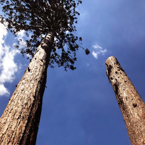 Christopher Frieß - Bergmammutbaum / Sequoiadendron giganteum