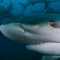 The nomads of the sea - Why do sharks migrate?