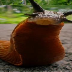 Terrestrial gastropod mollusc VIP