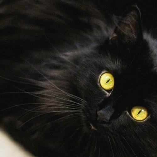 Le complot du chat noir contre Houphouet-Boigny