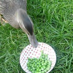 Olay Ufku: Bezelye Yiyen Ördekler ve YouTube'un Tavşan Delikleri