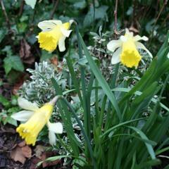 Nuances Amongst the Narcissus Flowers