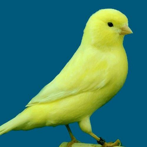 Canary Bird اقوى تغريد كناري للتسميع و تهييج الانات للتزاوج صوت رقم 10 By Canary Sound صوت الكناري