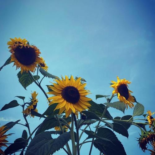 Das Kraftfuttermischwerk - Diese Sonnenblume, Alter! (feat. Josi & Darius)
