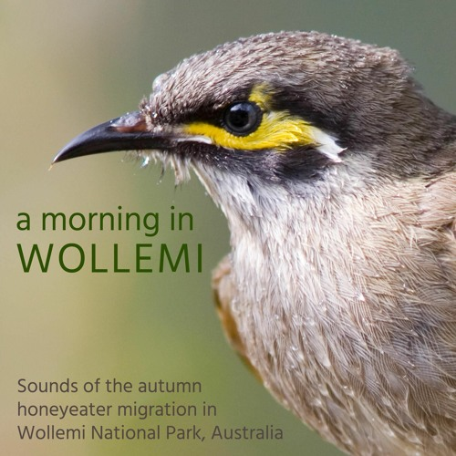 A Morning in Wollemi - Sounds of the Autumn Honeyeater Migration