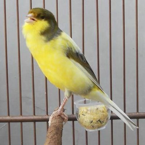 Canary Bird اقوى تغريد كناري للتسميع و تهييج الاناث للتزاوج صوت رقم 11 By Canary Sound صوت الكناري